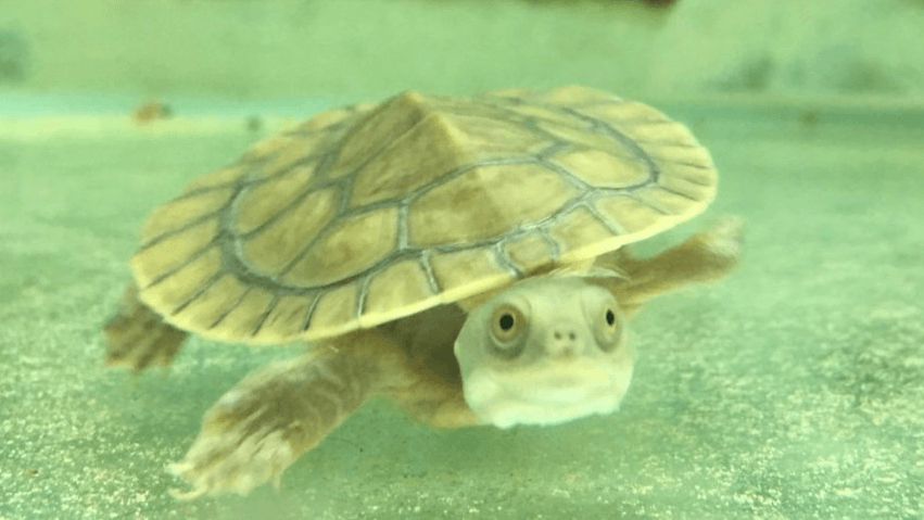 Turtle Tank Melbourne - Swimming Turtle