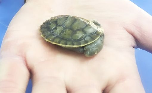 Baby Pet Turtle Melbourne on Palm