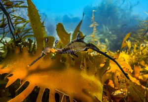 Weedy seadragon snorkelling tour Mornington Peninsula