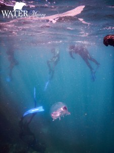 Melbourne Freedivers Jellyfish