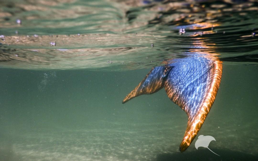 Portsea Mermaid Sightings