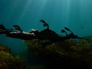 Male Weedy Seadragon with eggs silhouette Victoria