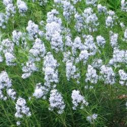 Amsonia (Blue Star) Hubrichtii