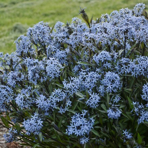Amsonia(Blue Star) Storm Cloud