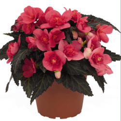 Begonia I'Conia First Kiss