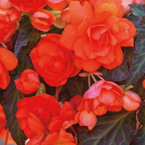 Begonia I'Conia Miss Malibu