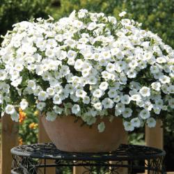 Calibrachoa Minifamous Comp White