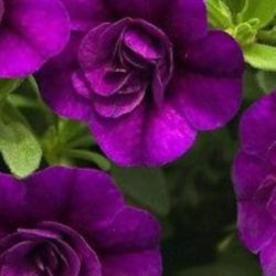 Calibrachoa Minifamous DBL Purple