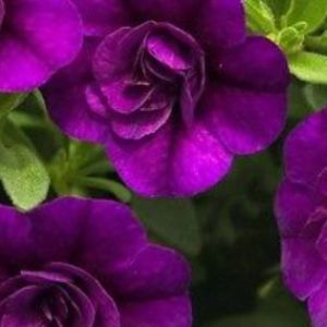 Calibrachoa Minifamous DBL Purple