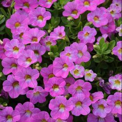 Calibrachoa Pink Passion