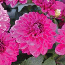 Dahlia Hypnotica Pink Bicolor