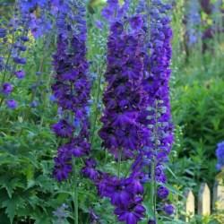 Delphinium (Larkspur) Dark Blue/Black Bee