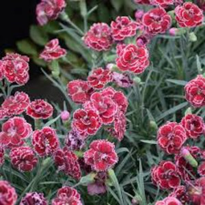 Dianthus Black Cherry Frost