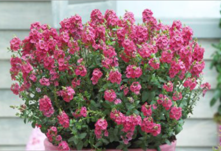 Diascia Sundiascia Upright Rose Pink
