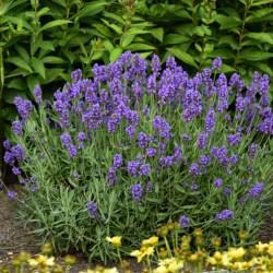 Lavandula (Lavender) Munstead