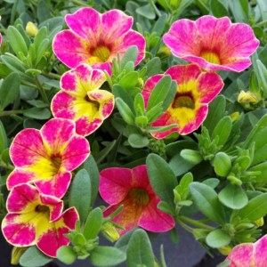 Calibrachoa – Chameleon Sunshine Berry Hanging Basket