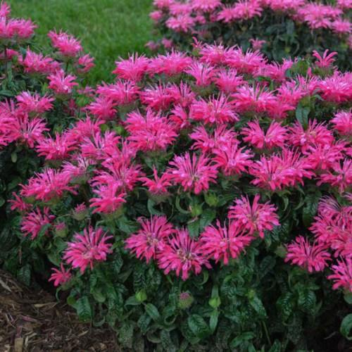 Monarda (Bee Balm) Electric Neon Pink