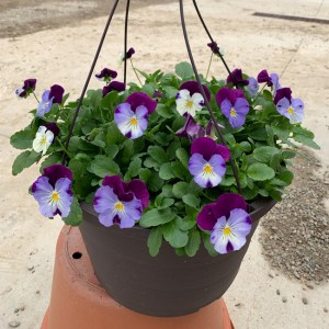 Pansy Cool Wave Violet Wing Hanging Basket