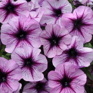 Petunia Starlet Lavender Star 19
