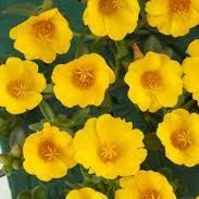 Portulaca Pazzaz Nano Yellow