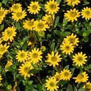 Sanvitalia Compact Yellow