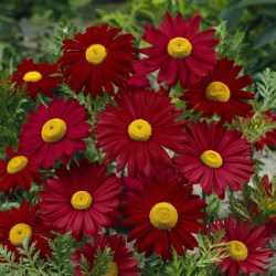 Tanacetum (Painted Daisy) Robinson's Red