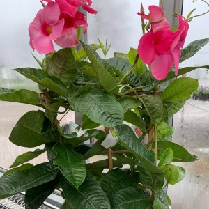 Mandevilla on Trellis