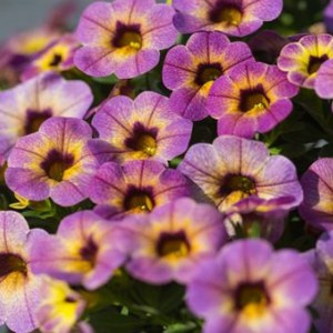Calibrachoa – Chameleon Blueberry Scone Hanging Basket