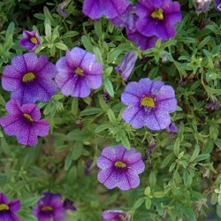 Calibrachoa –  Aloha Purple Hanging Basket