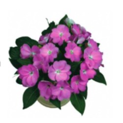 New Guinea Impatiens – Paradise Sel Light Lavender Hanging Basket