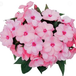 New Guinea Impatiens – Paradise Sel Light Pink Hanging Basket