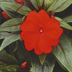 New Guinea Impatiens – Paradise Sel New Red Hanging Basket