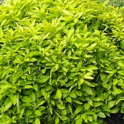 Alternanthera Chartreuse