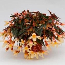 Begonia Bossa Nova Orange