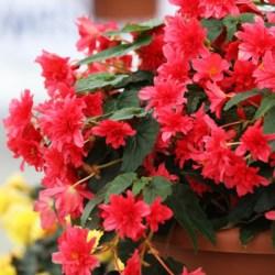 Begonia Rise Up Grenadine Red