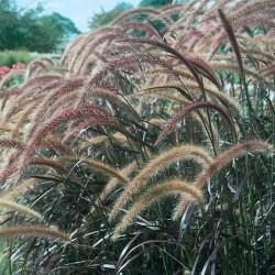 """Pennisetum Setaceum """"Rubrum"""" Grass"""