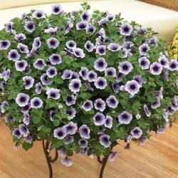 Petunia Sanguna Blue Vein