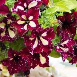 Petunia Starry Sky Burgundy