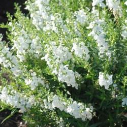 Sungelonia White