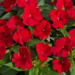 Sunpatiens Compact Red