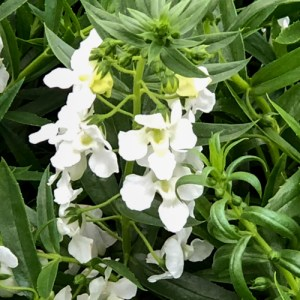 Angelonia Carita White