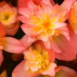 Begonia Rise Up Sansibel Peach