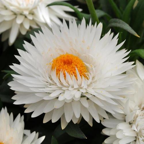 Bracteantha Dreametime Jumbo Pure White