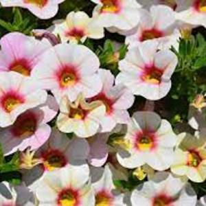 Calibrachoa Aloha Kona Royal White