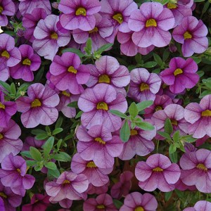 Calibrachoa Aloha Purple Sky