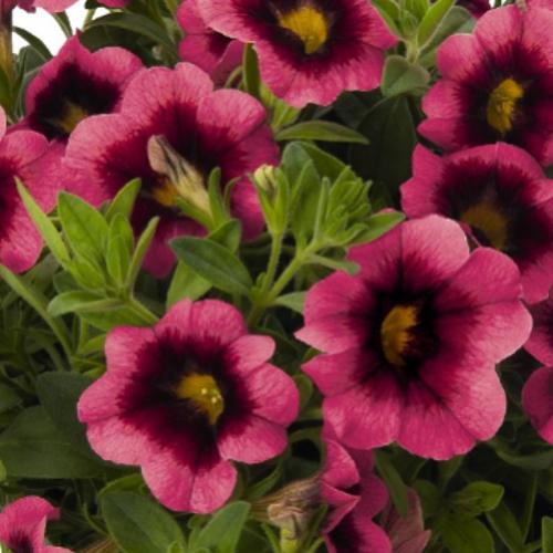 Calibrachoa Hula Hot Pink