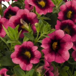 Calibrachoa Hula Hot Pink