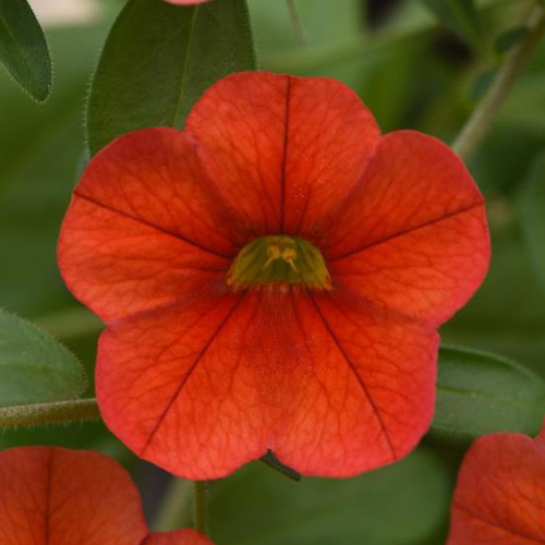 Calibrachoa MiniFamous Neo Deep Orange