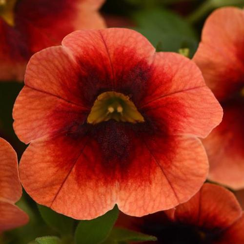 Calibrachoa MiniFamous Neo Lava + Red Eye