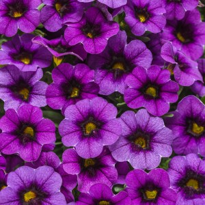 Calibrachoa Superbells Grape Punch